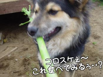 細いサトウキビは美味しくないっス!